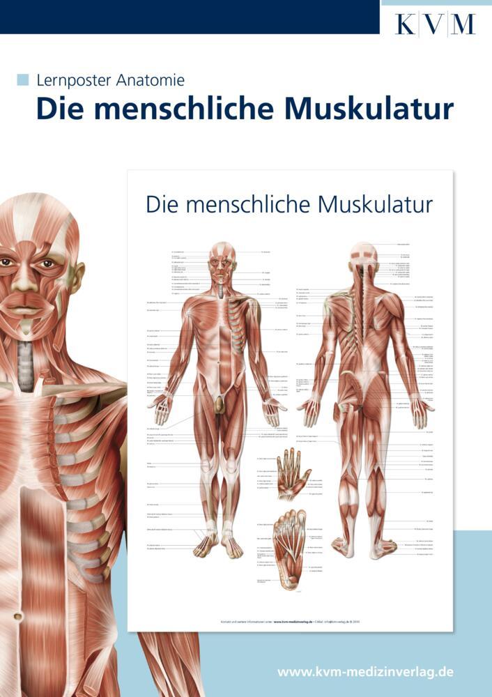 Anatomie Lernposter. Die menschliche Muskulatur von KVM-Der ...
